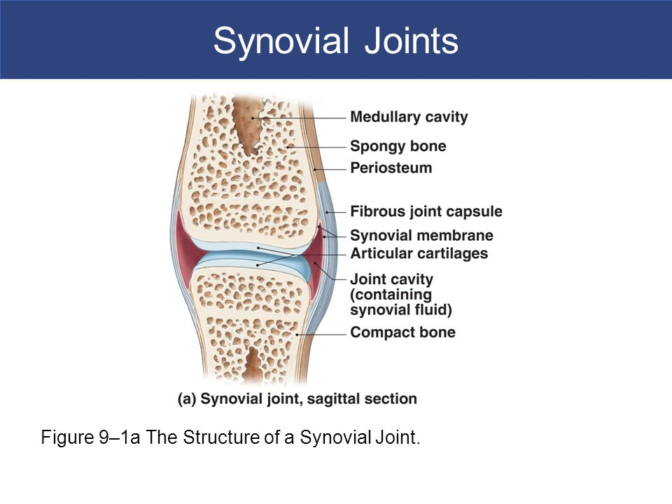 Synovial Joints [INSERT FIG. 9.1a]